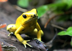 T2i - Yellow frog (@Doug88888) Tags: pictures yellow digital canon eos rebel image picture amphibian images frog x4 canonef28135mmf3556isusm 550d t2i