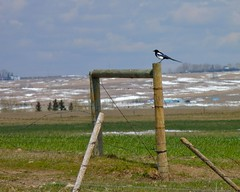 FZ35_P1000212 (cj berry) Tags: blackandwhite canada bird field grass rural countryside spring sitting looking watching alberta resting prairie magpie barbedwirefence cloudysky fencepost airdrie