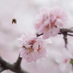 Charmed by the sakura (Dmitry Chastikov) Tags: pink cherry geotagged spring dof pentax blossom bokeh 85mm bee bumblebee sakura весна фото samyang k20d justpentax 20100503imgp5480cr11sq2 geo:lat=55697984 geo:lon=37539017 дмитрийчастиков