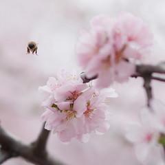 Charmed by the sakura (Dmitry Chastikov) Tags: pink cherry geotagged spring dof pentax blossom bokeh 85mm bee bumblebee sakura   samyang k20d justpentax 20100503imgp5480cr11sq2 geo:lat=55697984 geo:lon=37539017