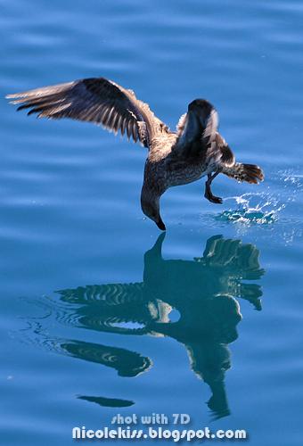 bird kissing water
