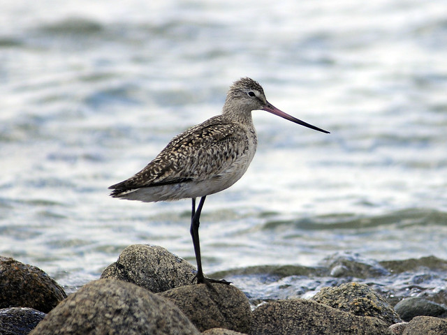 marbled_godwit_plymouth