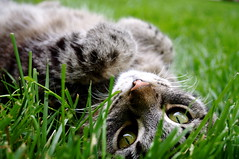 Mew. (the art of drowning) Tags: cute green grass cat eyes kitten kitty whiskers ear paws