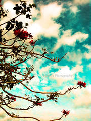 Blood Red Blooming on Summer (EXPLORED) (~Haani~) Tags: blue light red newzealand summer sky plants flower tree nature leaves clouds blood branches auckland blooming clendon haani aplusphoto