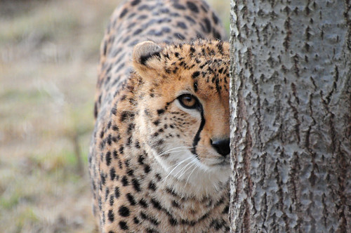 Cheetah (Acinonyx jubatus) Peering Around a Tree Trunk