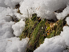 Snow melting (rotraud_71) Tags: sun snow droplets spring oldgrass