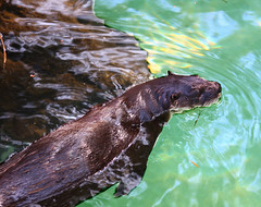 California River Otter (Rennett Stowe) Tags: river otter otters riverotter riveranimals swimmingotter californiariverotter swimmingriverotter