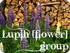 Lupin [flower] group