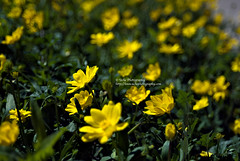 yellow spring (simis) Tags: flowers light shadow green art leaves yellow petals bokeh fromarchives hbwe