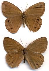 Yphthimoides ca. yphthima