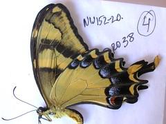 Papilio machaonides