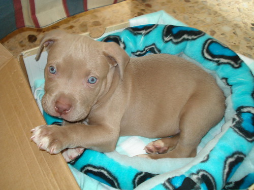 is this dog a blue fawn or red nose? | Page 3 | Pit Bull