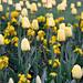 Yellow Tulips - St Stephen's Green - Dublin, Ireland