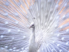 Angel (Dragan*) Tags: park white color cute male bird eye love nature beautiful birds animal animals zoo pretty display sweet wildlife tail serbia beak feathers feather adorable peacock grace precious getty crown belgrade moment merrychristmas beograd tender peafowl srbija whitepeacock pavocristatus whitebirds paun singidunum
