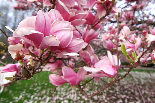 Magnolia Trees at Hillsdale