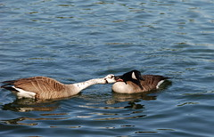 Give us a kiss....... (ineedathis, the older I get, the more fun I have!) Tags: male bird female duck canadiangeese aquatic lover hff