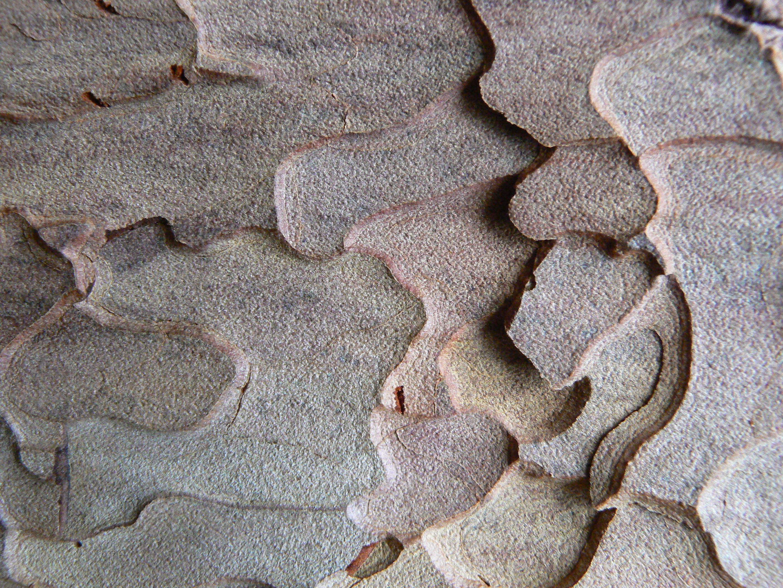 3498250497 7ed56a1710 o Bark   nice pattern (may be sugar beech?)