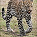 young Leopard.