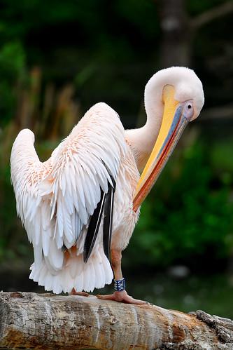 フリー画像| 動物写真| 鳥類| ペリカン|        フリー素材|