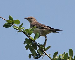 Northern Mockingbird, Mimus polyglottos (tripp.davenport) Tags: tx northernmockingbird kendall mockingbird mimuspolyglottos boerne mimid boernetownlake