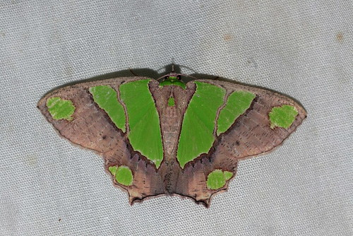 Agathia largita (Geometridae: Geometrinae)