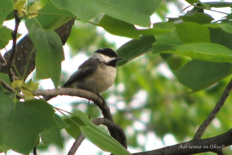 black capped chickadee photo by Adrienne in Ohio