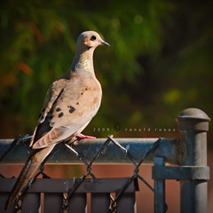 mourning dove ( ronnrr ) Tags: bird nature fence bokeh dove wildlife mourningdove hbw nikond300 nikkor70200mm28vr ronnrr