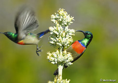 Greater Double-collared Sunbirds (Martin_Heigan) Tags: camera winter motion flower male bird nature digital southafrica succulent aloe close martin zoom bokeh flight telephoto photograph greater d200 dslr afra sunbird suidafrika sigma170500apo nikonstunninggallery suikerbekkie heigan cinnyris doublecollared platinumphoto colorphotoaward wsnbg wh200 mhsetbirds mhsetsucculents mhsetbokeh wimberleyheadversionii kalanchoeluciaesubspluciae nikonldof