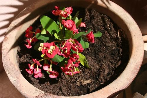 Euphorbia Milli Hybrid - yet another kind!