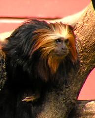 intent (estherase) Tags: uk london zoo monkey findleastinteresting primate londonzoo tamarin 0f leontopithecuschrysomelas emssimp zsl goldenheadedliontamarin leontopithecus zoologicalsociety chrysomelas liontamarin zoologicalsocietylondon 250311