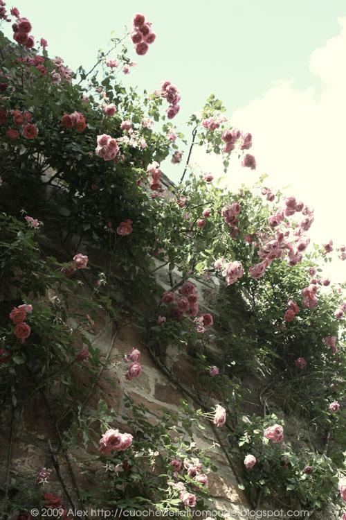 Rose a Dörrenbach