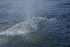 DSC06914 Sprayed by a grey whale