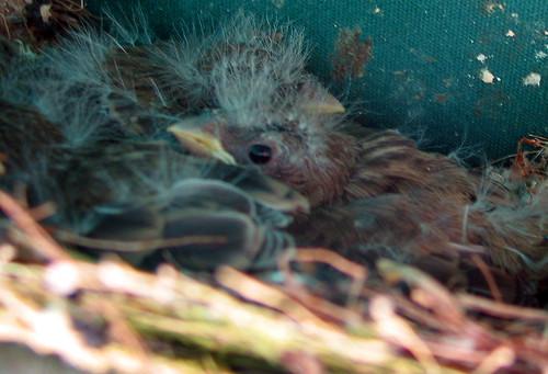 Baby-Birds-06222009