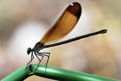 damigella con preda furba (luporosso) Tags: naturaleza nature bug insect nikon natura bugs marco macros damselfly damselflies insetti libellula d60 buz naturalmente damigella nikond60 macrolife