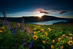 Suns up (Lance Rudge) Tags: sunrise nikon wildflowers lupine d3 columbiarivergorge rowena singhray tommccallpreserve basamroot reversegrad lancerudge