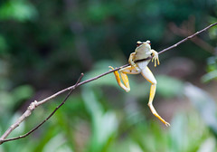 "303 "" Just hangin' out ! ""---Endau Rompin , Johor , Malaysia (ngchongkin) Tags: nature photos amphibian frog malaysia soe johor nationalgeographic efeso meandmycamera thegalaxy endaurompin naturesgallery peaceaward avpa flickraward mycameraneverlies flickrbronzeaward heartawards betterthangood dazzlingshots natureislife goldstaraward flickrestrellas thebestshot arealgem highqualityimages spiritofphotography discoveryphotos mascotasanimales grouptripod photographerparadise artofimages visionaryartsgallery contactaward championsphotography naturesprime mycivilization pegasusaward flickrsgottalent bestpeopleschoice unicornawards zodiacawards moongoddessawards mermaidawards artwithoutend poppyawards fabulousplanetevo betterthangoodlevel2 photographyforrecreationgoldaward iftherewouldbeaflickrshop photographyforrecreationemeraldaward photographyforrecreationsilveraward photographyforrecreationbronzeaward photographyforrecreationsapphireaward highqualityimagequalifiedmembersonly letscleanexplore pegasusbronzetrophy"