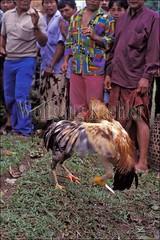30041985 (wolfgangkaehler) Tags: bali animal animals indonesia fight asia southeastasia contest fighting cockfight gamecock gamecocks fights cockfights contests cockfighting baliindonesia localcontest animalsfighting localcontests