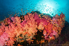 Kaleidoscope - Vatu-i-Ra Channel, Fiji (Jim Patterson Photography) Tags: ocean travel pink blue school light red sea wild orange sun fish color nature water yellow coral fiji marine colorful warm underwater purple natural pacific salt scenic magenta wideangle scuba diving vitilevu fisheye tropical vista housing reef tropics fins invertebrate anthias schooling aquatica cnidaria sunball softcorals gomo serranidae dendronephthya pseudanthiassquamipinnis carnationcoral tokina1017mm blighwaters nikond300 anthiinae beneathblueseas jimpattersonphotography 8inchdomeport jimpattersonphotographycom ikeliteds160strobe orangefairybasslets vatuirachannel seatosummitworkshops seatosummitworkshopscom