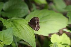 新治市民の森のコジャノメ(Butterfly at Niiharu Community Woods, Japan)