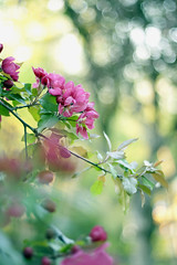 Apple Blossoms (Billy Wilson Photography) Tags: flowers ontario canada flower floral leaves digital canon eos rebel 50mm spring flora dof bokeh branches blossoms may bark xs f18 soo goldenhour appletree fruittree saultstemarie northe