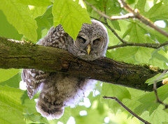 Mr. Adorable (Wes Aslin) Tags: canada raptor langley barredowl tc14eii strixvaria nikkor300mmf4afs d300s