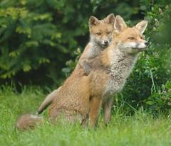 Fox & cub (3) (McTumshie) Tags: garden cub fox animalplanet croydon londonist