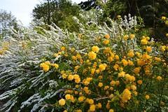 Yellow & White (ThomasKohler) Tags: white flower nature yellow germany deutschland spring blossom natur gelb blume blüte weiss busch frühling mecklenburg fruehling warenmüritz müritzsee mueritzsee warenmueritz