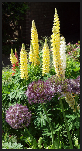 [22/52] Yellow Lupins by kcm76