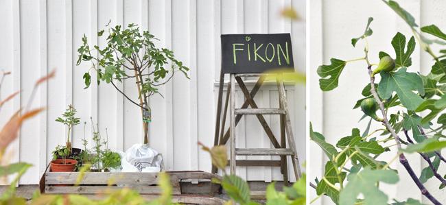 fikon