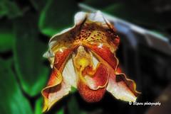 Orchid (blipars) Tags: orchid macro nature closeup garden dc washington orchids soe usbotanicgarden blueribbonwinner mywinners