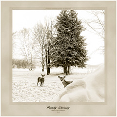 Discovery (Imapix) Tags: winter snow canada art nature animal canon photography photo foto photographie image quebec peekaboo deer digitalpainting qubec duotone discovery coucou chevreuil whitetail imapix whitetaildeer gaetanbourque supereco vosplusbellesphotos imapixphotography gatanbourquephotography