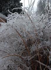 Forsythia (laurienrick) Tags: ice nature icestorm forsythia damage arkansas naturaldisaster springdale january2009 icestorm2009