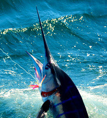 San Carlos Marlin 1 (pqalmada) Tags: d50 mexico boats boat fishing nikon san carlos tuna guaymas pesca marlin yatch d300 sailfish