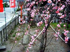 DSCF2458.JPG (umbrellaofdoom) Tags: plumblossoms